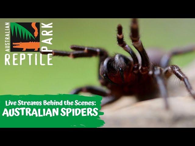 LIVE WITH AUSTRALIAN SPIDERS   AUSTRALIAN REPTILE PARK