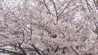 """福岡でソメイヨシノ満開 この後も続々""""春の便り""""(16/03/30)"""