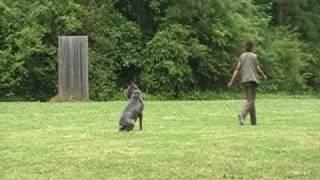 La Onda / Scandifio Damian Schutzhund I Obedience Score 270
