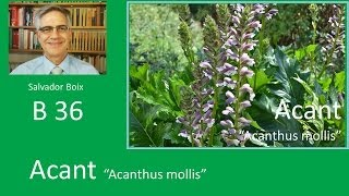 Salvador Boix B36, Acant, Acanthus mollis
