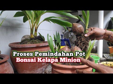 Bonsai Kelapa Minion Pindah Pot Nhạc Mp3 Youtube