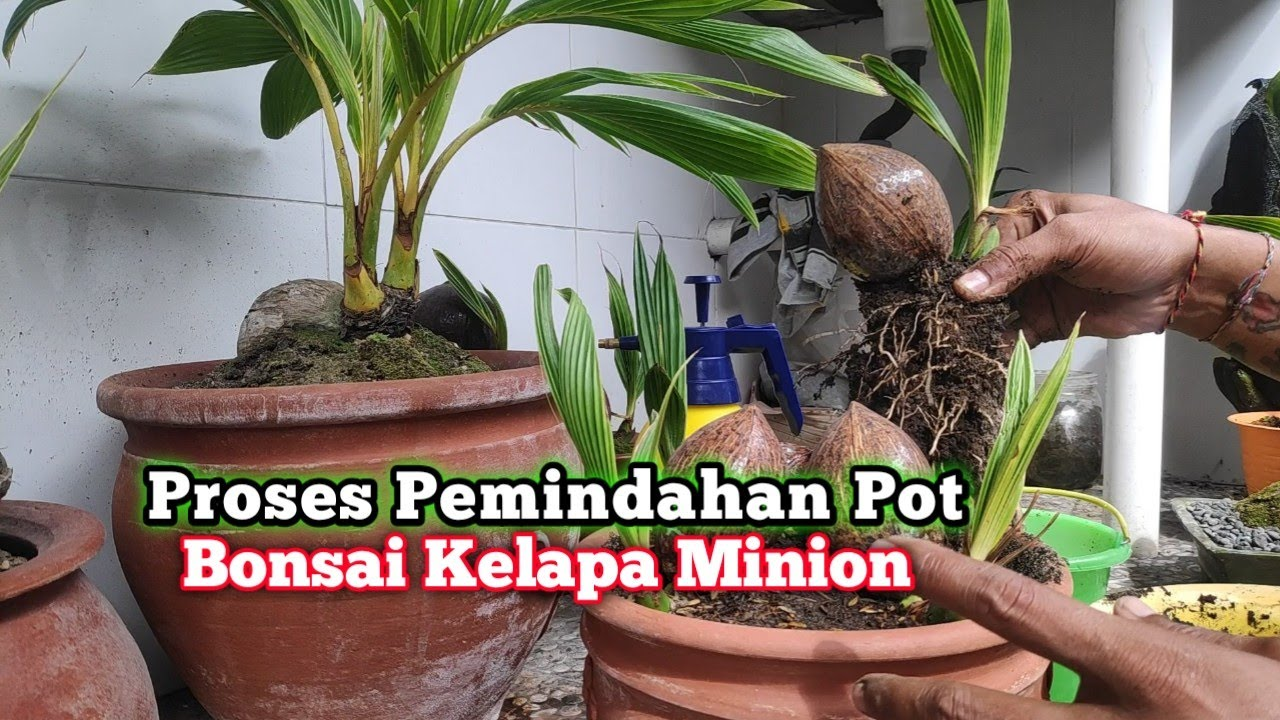 Bonsai Kelapa Minion Pindah Pot Youtube