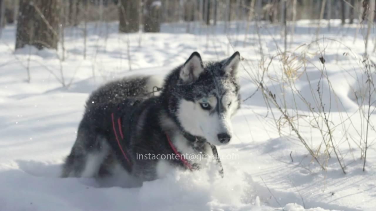 Siberian Husky In The Snows Of Siberia Youtube