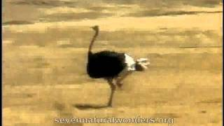 Retarded Running Ostrich