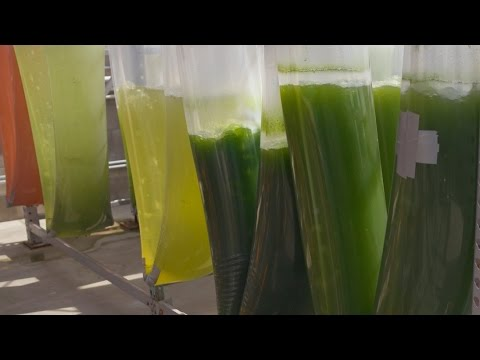 Is Algae Our Last Chance To Fuel The World?