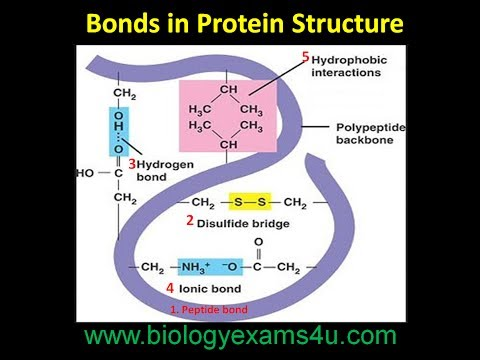 Bonds In Protein Structure