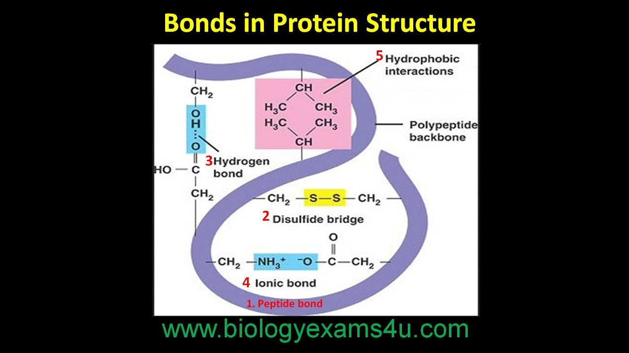 bonds in protein structure youtube