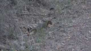 A baby mongoose kills a baby puff adder, pretty much the baby circle of life