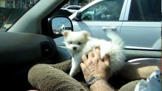 Pomeranian Puppy Trying To Bite Air From Car Ac