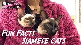Funny Cats 7 datos divertidos que no sabías sobre los gatos siameses