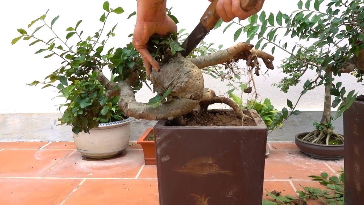 Hướng dẫn bạn mới chơi những cách cơ bản để tạo cây dáng huyền (thác đổ) -how to create bonsai trees