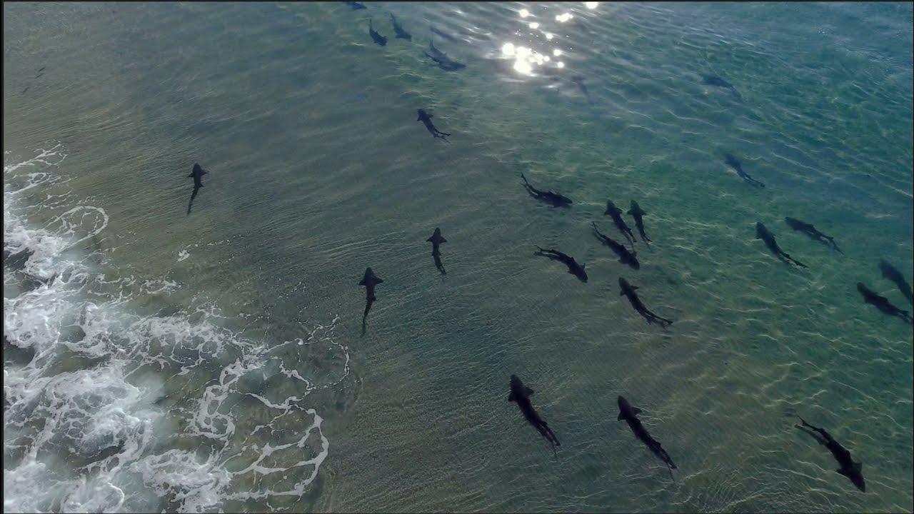 Hundreds Of Leopard Sharks Gather At La Jolla Shores San