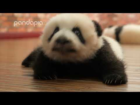 Trying To Pet An Aggressive Baby Panda