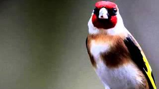 chardonneret goldfinch 2017 تغريد حسون جميل لفراخ موسم