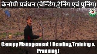 Pruning & Bending in apple Tree (सेब के पौधों की बेंडिंग एवं प्रून्निंग)