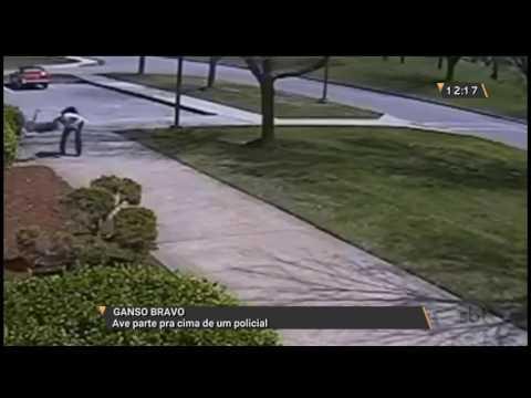 Ganso bravo: Ave parte pra cima de um policial