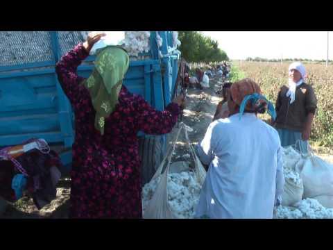 Cotton Harvest Silk Road Tours & Travel Kazakhstan Uzbekistan #silkroad #cottonharvest