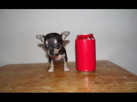 Chihuahua Mini Toy Negro Fuego Chihuahuasdebolsillocom Youtube