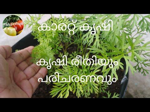 കാരറ്റ്-കൃഷി-രീതിയും-പരിചരണവും-|-carrot-krishi-malayalam-|-how-to-grow-carrots-in-grow-bags