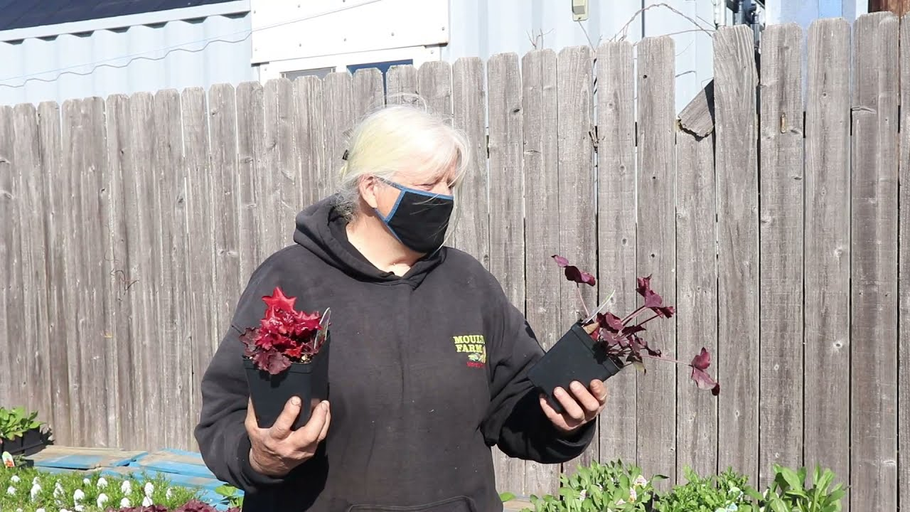 """Do you have """"coral bells"""" in your garden?"""