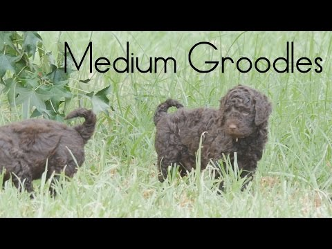 Medium Groodle puppies play wrestling on the grass
