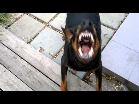 My barking Doberman :)