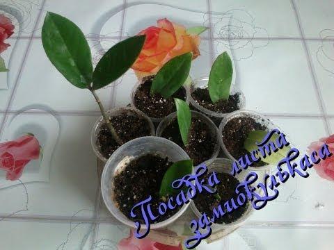 Растение замиокулькас: размножение листом в домашних условиях Часть 1-я