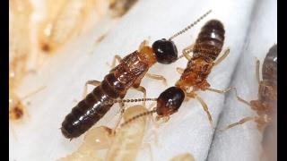 видео Колония Reticulitermes lucifugus | Клуб Любителей Муравьев
