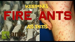 This video is about my massive Fire ant colony. This is an in depth look at Solenopsis ants as pets in an antfarm. Hope you like the video! Visit us at ...