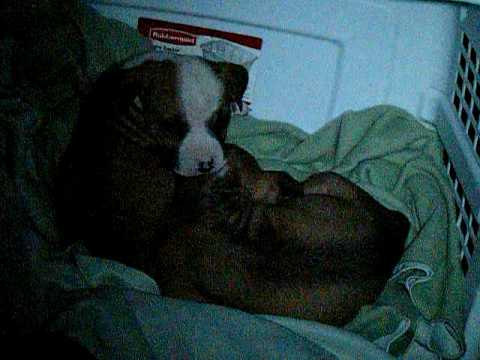 white pitbull taz pitbull puppies getting comfortable