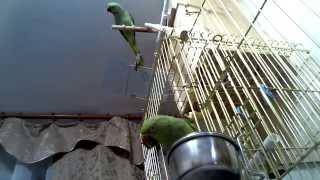 Ожереловые попугаи Крамера 195