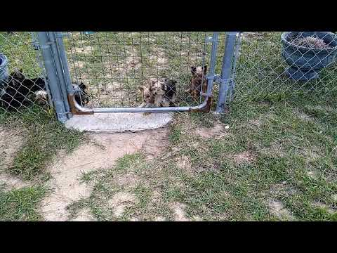 Yorkie puppies for sale in SC,