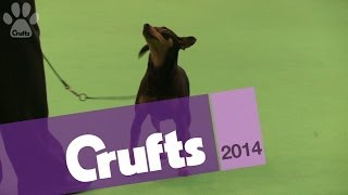 Miniature Pinscher | Best Of Breed | Crufts 2014