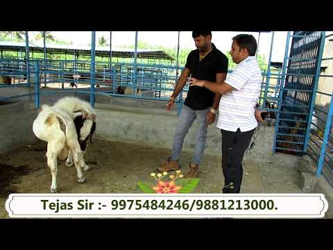 How To Select Boer Breeding Male Explained By Tejas Lengare Sir