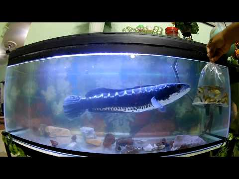 Feeding Giant Snakehead TOMAN With Fish And Frogs