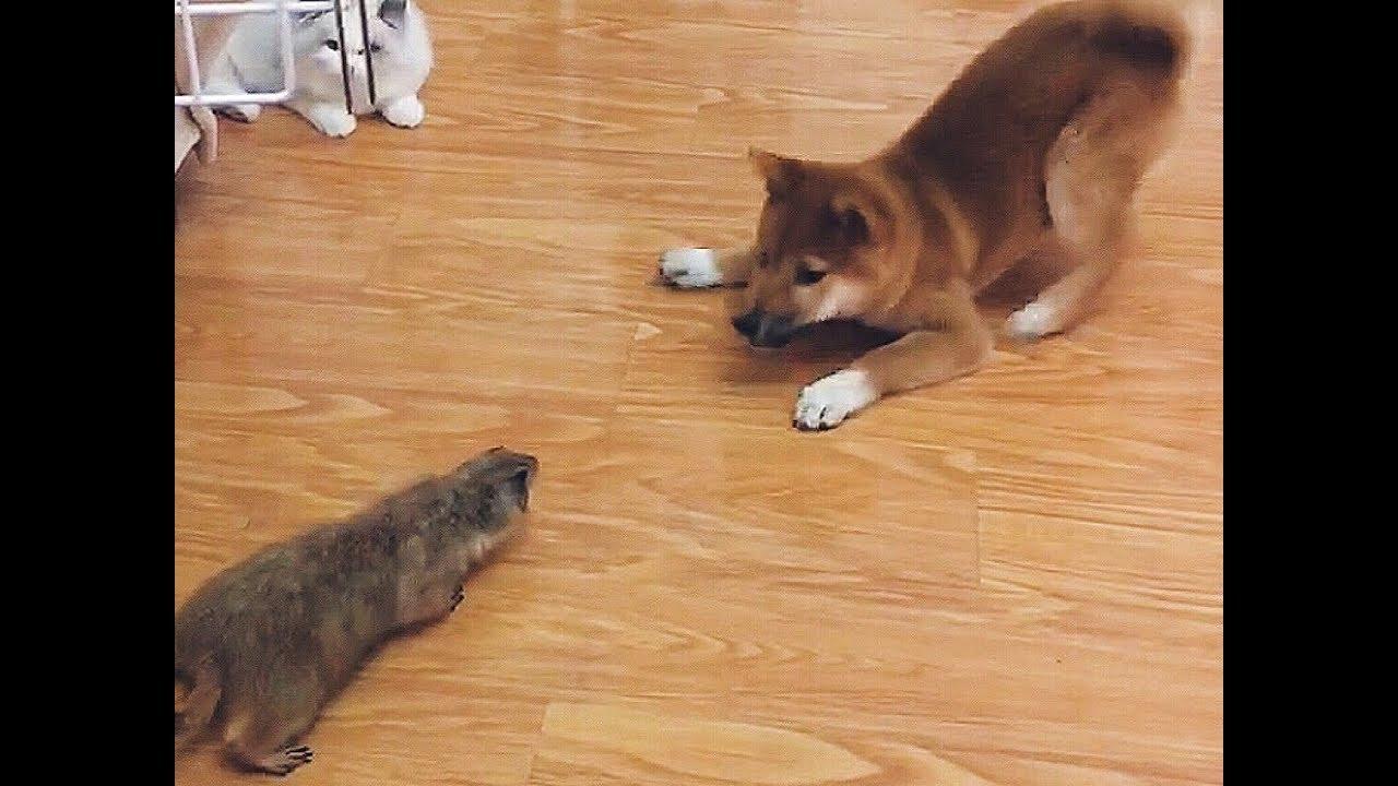 土狗子咬人_狗子第一次见到土拨鼠的表现让人笑掉大牙, 而旁边那只猫居然很 ...