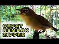 Pancingan Pleci Agar Cepat Nembak Zipper  Mp3 - Mp4 Download