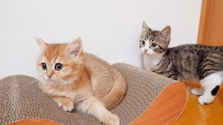 Kitten Coco has a little quarrel over a new claw sharpener
