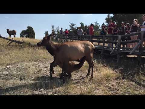 Mother nursing baby elk- Yellowstone
