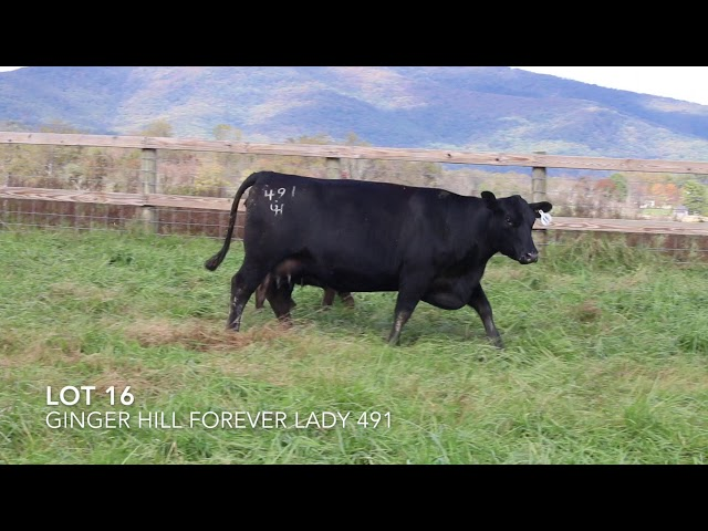 Ginger Hill Angus Lot 16