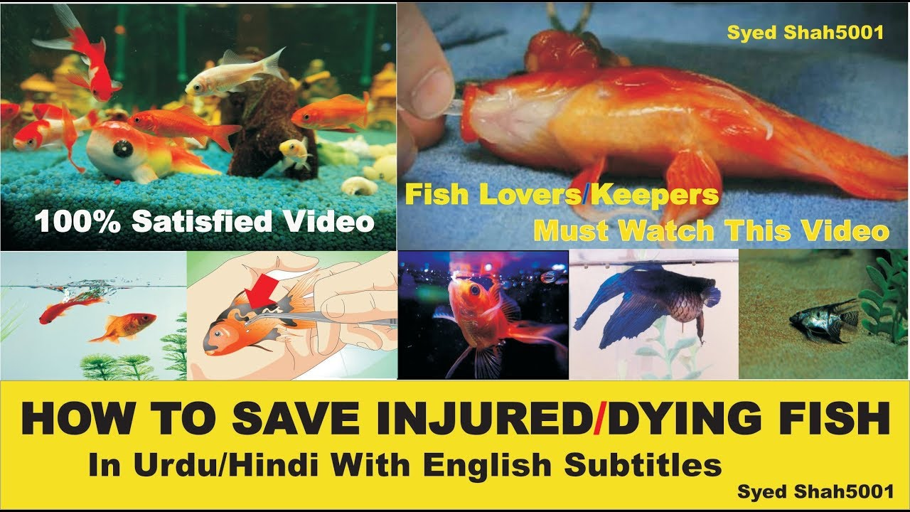How to save Injured or Dying fish complete info & guide Urdu/Hindi with  English Sub