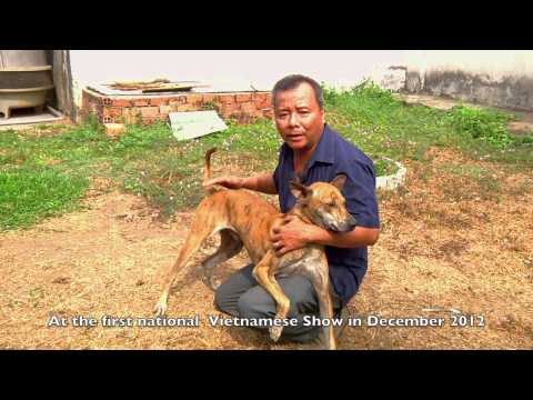 The Phu Quoc Dog Vietnam