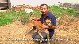 The Phu Quoc Dog Vietnam's National Breed
