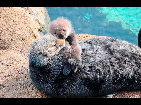 Sea Otter Motherly Love -Grooming and Caring for Baby Otter