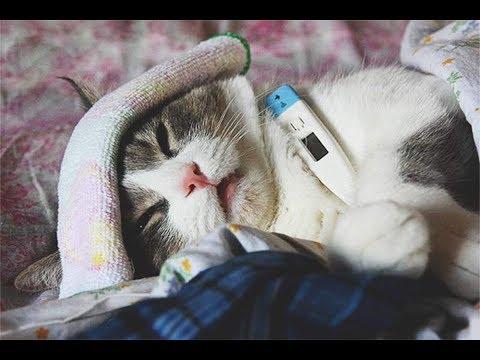 Болеют ли кошки простудой