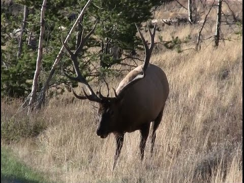 """Bull Elk Encounter"" Yellowstone National Park"