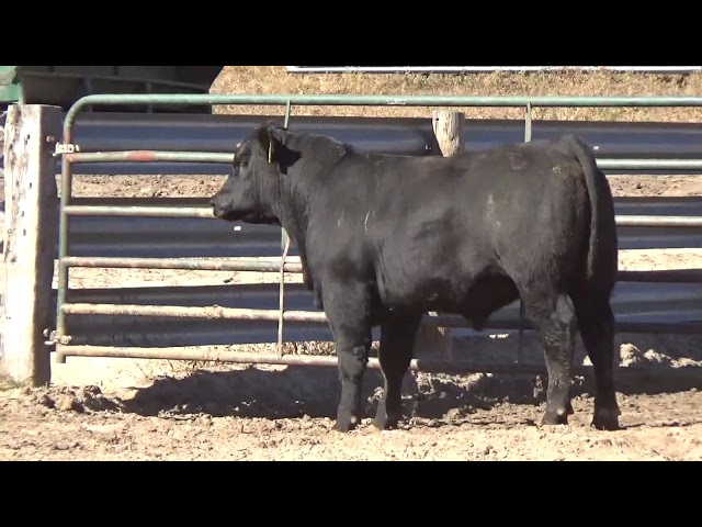 Connealy Angus Lot 149
