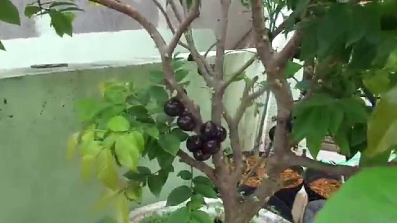 Excepcional Jabuticaba em vaso carregada de frutos - YouTube PX08