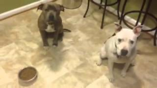 Off Leash K9 Trained Pit Bulls Showing Off! Pit Bull Training Northern Virginia