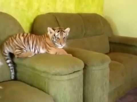 mali tigar u kući